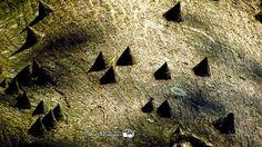 El Salvador - pareciera cordillera volcanica - en realidad es una ceiba joven - macro fotografia de Julio Velasquez