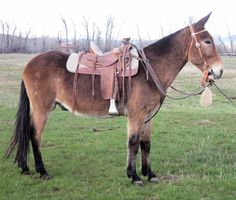 This mule has the looks and confirmation to be a show mule that will stand out in the ring and catch the judges eye or be the flashiest trail mule your heart could desire.