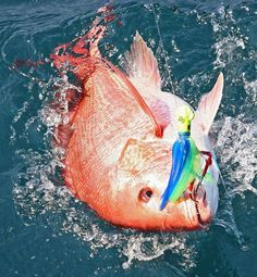 Red Snapper,  saltwater fishing - Seatech Marine Products / Daily Watermakers