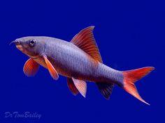 red fin shark  cyprinid a.k.a Rainbow Shark freshwater