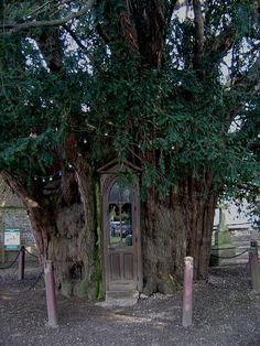 yew tree with chapel inside
