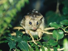extinct or rare animals - Nothern Quoll