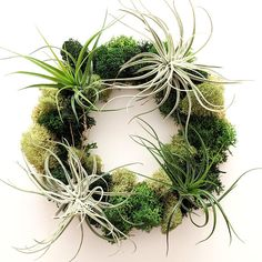 Air Plants and Moss Table Accent Living Wreath - and Etsy Editors Pick! The wreath measures 7 inches across in diameter. Made using Reindeer Moss and 4 Air Plants. Yours may not exactly match this photo, but will be chosen from our healthiest selection at the time of production. So