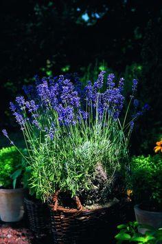 Lavendel pflanzen – Tipps zur richtigen Pflege im Garten oder im Topf