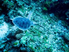 Sea turtles are critically endangered in the world's oceans - 5 of 7 species can be found in Maldives, the 2 most common being the Hawksbill and the Green.