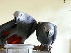 I have male and female African grey parrots for sale to good and caring homes only. The parrots are well trained and well socialized with people and other pets. African Grey Parrot, Pets For Sale, Parrots, Pet Dogs, Your Pet, Adoption, Foster Care Adoption, Doggies, Dogs