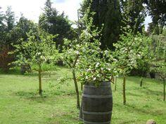 Apple trees in Tuscany. Agriturismo Polveraia, in San Gimignano