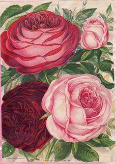LOVE these vintage cabbage roses! Vintage Flower Prints, Vintage Flowers, Vintage Floral, Vintage Art, Vintage Ephemera, Vintage Postcards, Seed Packaging, Rose Pictures, Retro Pop