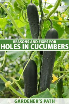 Oh no! No one wants to spot a hole in their homegrown cucumber. If you're that unlucky gardener, figure out the possible causes fast with the tips in our guide. Pickleworms top the list, but don't ignore scab, belly rot, or slugs as potential culprits. Learn more on Gardener's Path. #cucumbers #gardenpests #gardenerspath Garden Plants Vegetable, Vegetable Garden For Beginners, Garden Pests, Gardening For Beginners, Healthy Fruits And Vegetables, Different Vegetables, Growing Vegetables, Starting A Garden, Seed Starting
