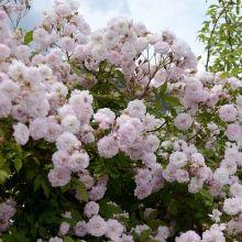 Fil Roses - Andréa Palladio, remontant juin et sept , grimpant 6m Charme, romantisme et poésie pour cet étonnant rosier liane qui croule sous les fleurs en juin . C'est un rosier vigoureux et puissant qui prendra rapidement des dimensions impressionnantes. Forme des grappes de pompons rose clair parfumées qui recouvrent complètement le feuillage sain.