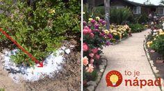 Nemusíte kupovať nič špeciálne: Pestovatelia s najkrajšími ružami v okolí prezradili, prečo ich ruže kvitnú celú sezónu ako divé! Small Gardens, Sidewalk, Outdoor Decor, Plants, Vintage, Little Gardens, Side Walkway, Walkway, Plant