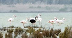 A Black Flamingo Stands in Cyprus | Audubon