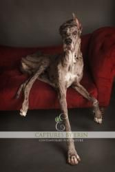 Dash is an adoptable Great Dane Dog in Carrollton, TX. Dash is a 24 month old Male merle great dane. His awesome personality will be the first thing that you notice about him. He is outgoing and loves...
