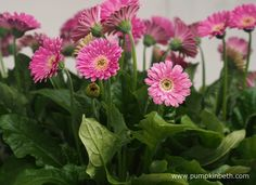 Container Plants for Bees, Butterflies and Gardeners - Pumpkin Beth Cut Flowers, Pink Flowers, Flowers For Valentines Day, Beneficial Insects, Different Flowers, Colorful Garden, Gerbera, Container Plants, Planting