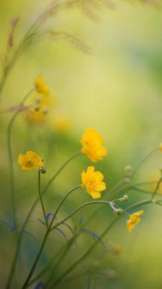 Buttercups Flowers iPhone 6 Wallpaper