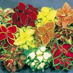 Coleus - I use this in my big potted plants for my deck.