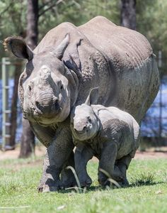 Rajah, whose name means 'Prince,' made his public debut last week at the Taronga Western Plains Zoo. He is the first Greater One-horned Rhino to be born in Australia. Learn more and see video at ZooBorns.com and at http://www.zooborns.com/zooborns/2016/02/a-little-rpince-debuts-in-australia.html