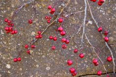 Bacche rosse di biancospino (common hawthorn, paducel, Aubépine monogyne)...