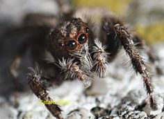 araña como moscas