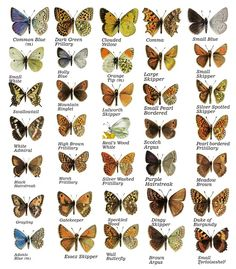 Butterfly varieties: The left of each images shows the upper wings, the right the underside, visible when the wings are closed