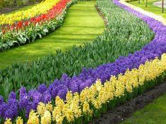 Imposible no reconocer....Keukenhof ! Los jacintos a la espera de los tulipanes