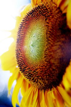 Sunflower (Photo by Leslie Atcheson)