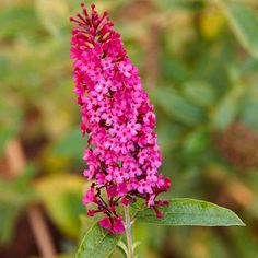 Butterfly Bush, This shrub is called butterfly bush for a reason -- you're sure to see it covered in butterflies all summer long. An easy-care shrub, it features fragrant flowers in shades of blue, purple, and white.