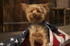 Yorkie. Dog tag. King Baby, Yorkies, Dog Tags, Dogs, Animals, Animales, Animaux, Pet Dogs, Yorkshire Terriers