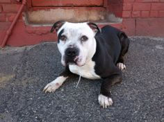 TO BE DESTROYED - WEDNESDAY - 4/30/14, Brooklyn Center   BAXTER - A0997551  *** SAFER: AVERAGE HOME ***   MALE, BLACK / WHITE, PIT BULL MIX, 2 yrs  STRAY - STRAY WAIT, NO HOLD Reason STRAY  Intake condition NONE Intake Date 04/23/2014, From NY 11207, DueOut Date 04/26/2014  https://www.facebook.com/photo.php?fbid=792821754064039&set=a.792353347444213.1073743116.152876678058553&type=3&theater