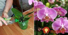 """Kvetinárka odporúča používať obyčajnúbanánovú šupku – nič viac, nič menej. Obsahuje totižto všetky látky, ktorérastlina potrebuje- fosfor, draslík, dusík a horčík – """"zlaté"""" látky pre zdravý životný cyklus kvetu.Tieto stopové prvky vstupujú do rastliny postupne a ak ich viete správne použiť, zabezpečia vám krásnu rastlinku na dlhé roky. Táto výživa podporuje orchidey počas obdobia kvitnutia... Forks, Gardening, Plant, Flowers, Lawn And Garden, Bobby Pins, Horticulture"""
