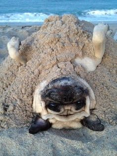So cute! Now I want to take my three Pugs to the beach!
