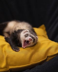 Ferret Voice - All information about keeping pet ferrets. Ferrets Care, Funny Ferrets, Black Footed Ferret, Rabbit Hunting, Pet Ferret, Funny Minion, Rodents, Fun Facts, Cute Animals