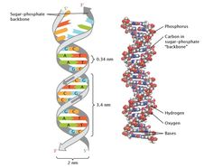 The structure of double-stranded DNA is shown in two ways. On the left is a simplified illustration of DNA, in which the sugar-phosphate backbone of each strand is represented as a grey ribbon coiled into a double helical shape, and base pairs resemble rungs on a ladder. On the right, DNA is depicted with a space-filling model in which the individual atoms (Phosphorus, Carbon, Hydrogen, Nitrogen, and Oxygen) are represented as different colored spheres.