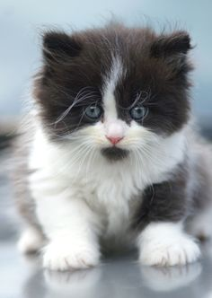 black & white kitten.