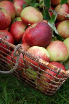"""Soon Julian will be calling our name."""" """"Rose and Tom"""" time for a delicious """"Apple Dumpling"""" , fresh apple cider, """"Come and get it"""". Apple Harvest, Harvest Time, Fall Harvest, Apple Farm, Apple Orchard, Apple Tree, Red Apple, Fresh Apples, Fresh Fruit"""
