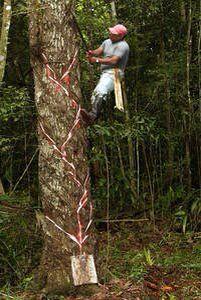 # chicle    Pica del árbol, no sufre daño ni muere y se le deja descansar de 5-8 años