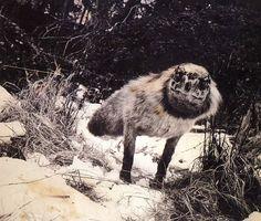 Joan Fontcuberta, Alopex Stulus, Fauna series, 1985 -1989