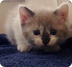 ADOPTED!  Meet Trudy - Betty's kitten, a female kitten for adoption at East Lake Pet Orphanage (#ELPO).