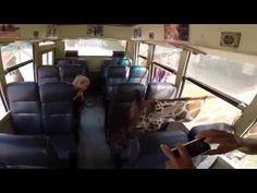 Giraffes Attack for food in Safari funny video