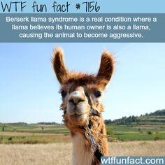 Berserk llama syndrome - WTF Fun Fact