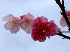 Cherry Blossom Festival in Yokosuka, Japan. My birth place :)