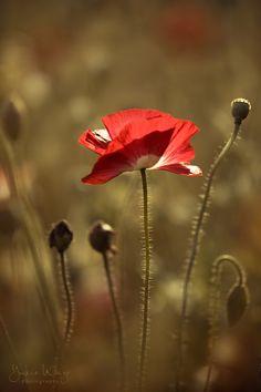 poppy by YukieWago