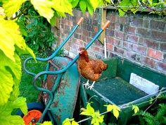 chicken in the backyard