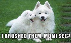 Eskimo dogs
