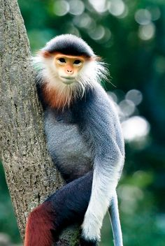 Red-shanked douc langurs are among the most ornately decorated primates.