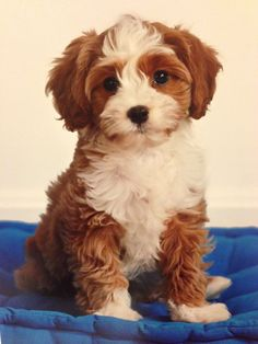 Cute redandwhite Cavapoo puppy, 6 weeks old Animals