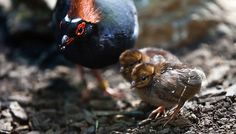 Crested Wood Partridge: January 7, 2012