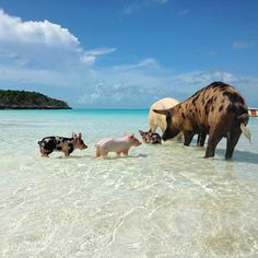Beach Pig Pals in the Bahamas