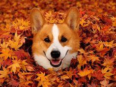 Epic fall corgi cuteness. #dogs #autumn #leaves