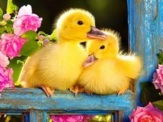 Ducklings.... - Pixdaus